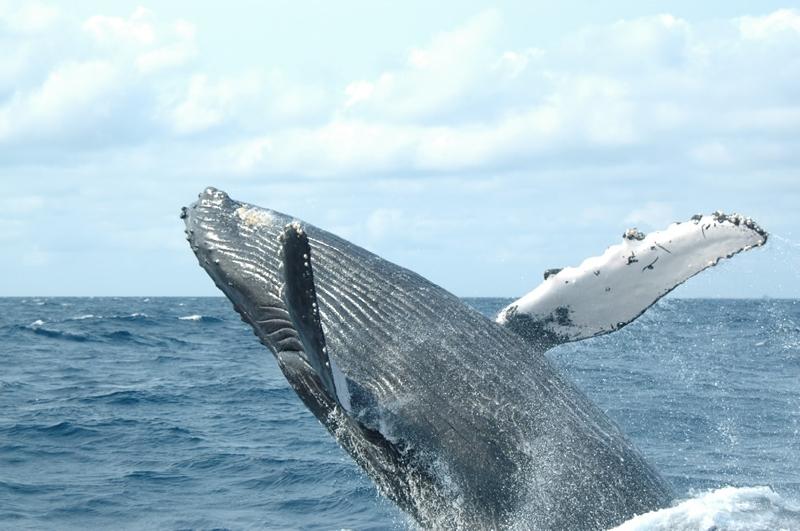 ザトウクジラの画像 p1_35